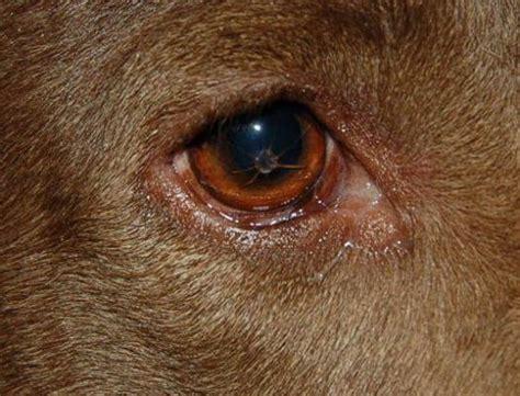 dog      nasty dog eye infection