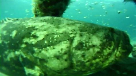 grouper golith