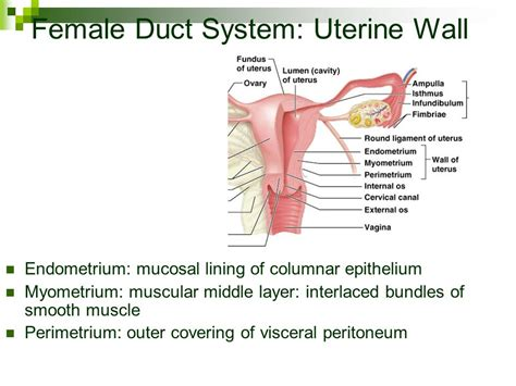 uterine wall shedding cosmo reproductive system chapter ppt