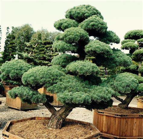 Garten Bonsai Winterfest Machen by Pinus Parviflora Macrobonsai Bonsai Winterhard