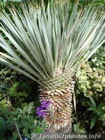 Une Plante Rustique: Le Yucca