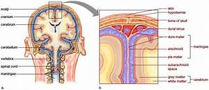 Meninges And Cerebrospinal Fluid Both The Spinal Cord And