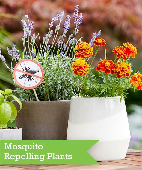 Plants That Repel Mosquitoes in Backyards
