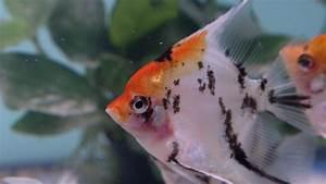 Süßwasserfische Fürs Aquarium : die zehn beliebtesten aquariumfische ~ Lizthompson.info Haus und Dekorationen