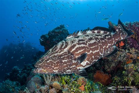 grouper groupers