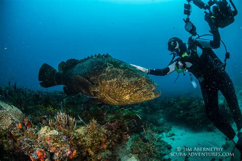 goliath groupers fish grouper protect