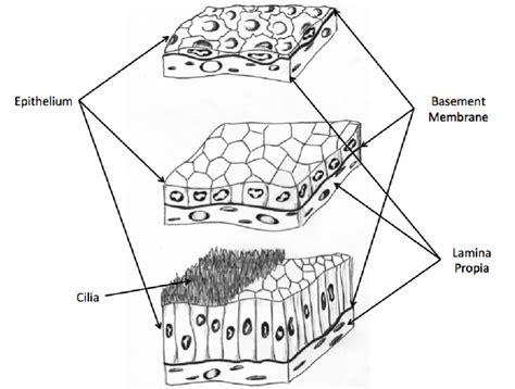 types  epithelial cells simple squamous top