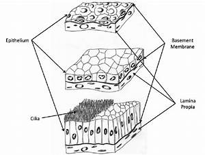 3  Types Of Epithelial Cells  Simple Squamous  Top