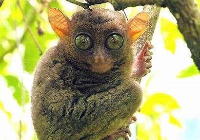 Monkey Funny Tarsier Eyes Primate Humor Wallpapers