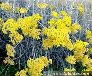 Herbe à Curry Toxique : 68 liste de plantes grimpantes fleurs feuillage persistant pour l 39 ombre un balcon ~ Melissatoandfro.com Idées de Décoration