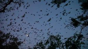 Bats Flying At Dusk - Zoomed Shot Stock Footage Video ...