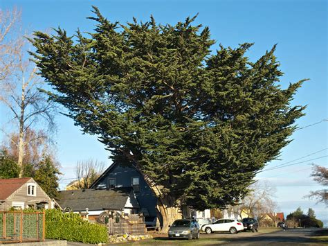 celebrating port townsends trees port townsend leader