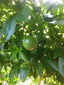 Passion fruit on tree | Retired? No one told me!