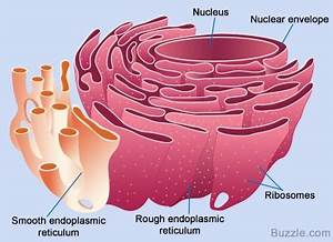 All About the Smooth Endoplasmic Reticulum and its Function