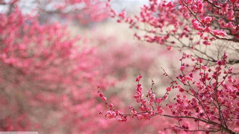 blumen in japan hintergrundbilder 1366x768 px kirschbl 252 te japan pinke
