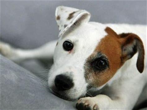 jack russell terrier rassebeschreibung haltung wesen