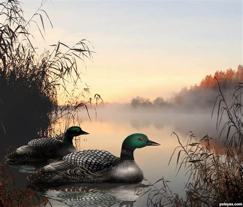 loon contest pictures   photoshop image page