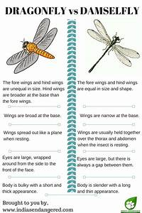 What Is The Difference Between Dragonfly And Damselfly