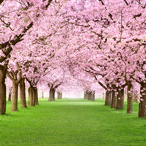 alberi con fiori rosa foto di fiori fototela it