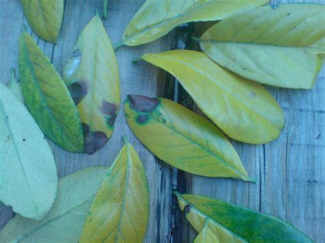 was bedeuten gelbe mein kirschlorbeer novita bekommt gelbe bl 228 tter mein sch 246 ner garten forum