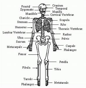 Long Bone In The Human Skeleton