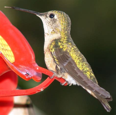 top 28 how big is a humming bird baby hummingbird