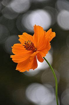 flower cosmos images beautiful flowers