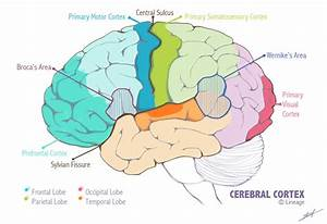The Primary Sensory And Motor Cortices Are Supplied By ...