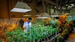 Medical Marijuana Research Hits Wall of U.S. Law - The New ...