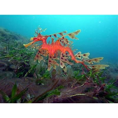 File:Leafy Sea Dragon-Phycodurus eques (23694746864).jpg