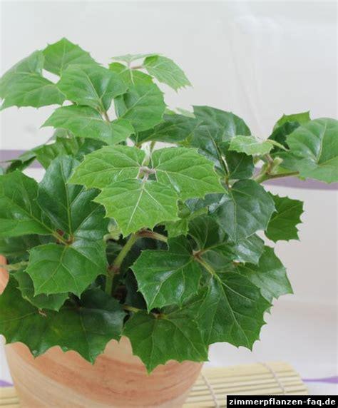 Zimmerpflanzen Datenbank Klimme by Cissus Rhombifolia