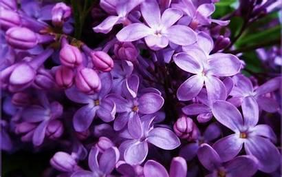Lilac Blumen Desktop Flowers Purple Liliac Fond