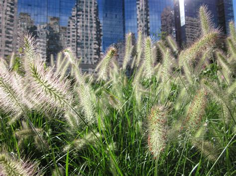pennisetum alopecuroides hameln what s in bloom on the greenway