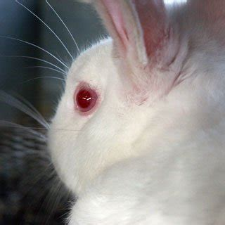 Eye A H C do cosmetic companies still test on live animals