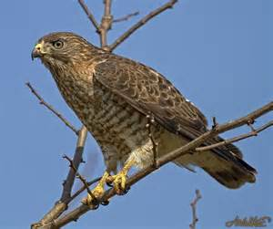 Maine Broad Winged Hawk