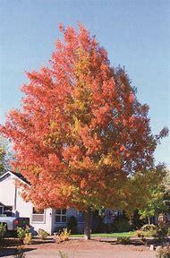 Oak Tree Fall Color