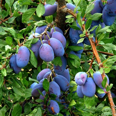 prune tree italian prune plum trees how to grow a prune tree