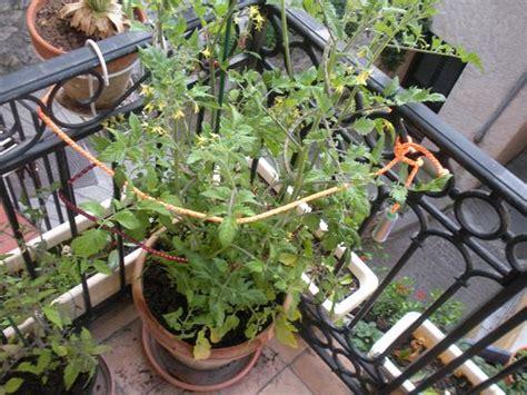culture tomate en pot comment faire pousser des tomates cerises sur balcon