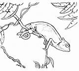 Chameleon Coloring Pages Printable Colouring Chameleons Animal Print Sheets Outline Adult Creative Sketch Animals Tree Kindergarten Espio Cute Books Monkey sketch template