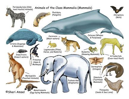 Facts About Mammals Characteristics of Mammals