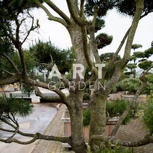 Arbre En Nuage : arbre remarquable pinus contorta taill en nuage ~ Melissatoandfro.com Idées de Décoration
