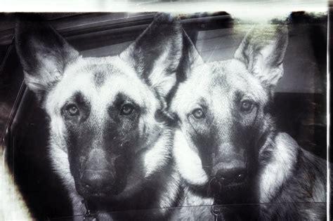 german shepherd dog rescue  north texas  home