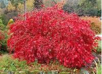 lace leaf maple Red Lace Leaf Japanese Maple, Acer palmatum atropurpureum ...