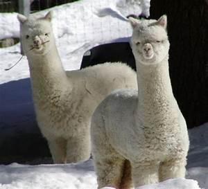cute baby llamas MEMEs
