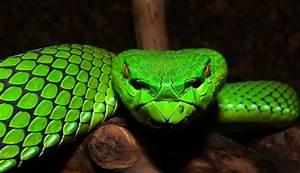 Gumprecht s Green Pit Viper