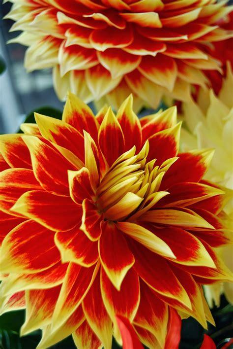 odd plants annual dahlia show    mah