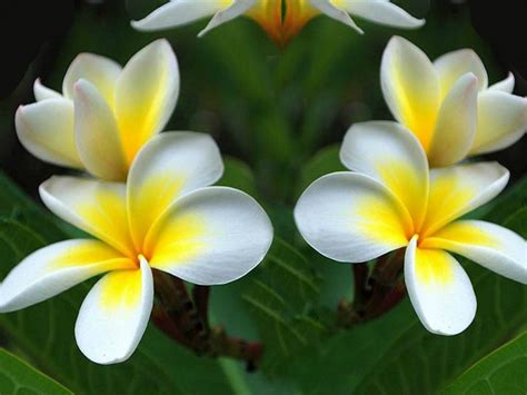 plumeria yellow white flowers green leaf wallpaper