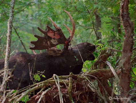 Bull Moose Shedding Antlers by Moose Photographs Related Keywords Suggestions Moose