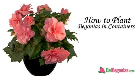 begonia care archives calbegonias
