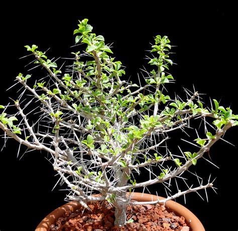 Cactus-แคคตัส: กลุ่มของกระบองเพชร